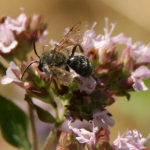 Colletes daviesanus Davies mining bee on marjoram